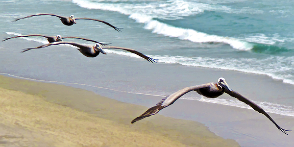 Pelican Fly-by by L J Oakes
